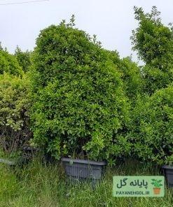 شمشاد سبز